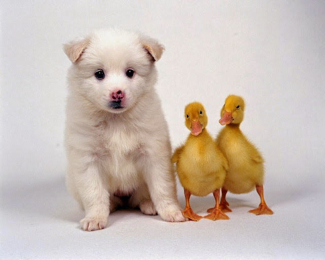 1674-Puppy With Two Little Ducks Animal HD Wallpaperz