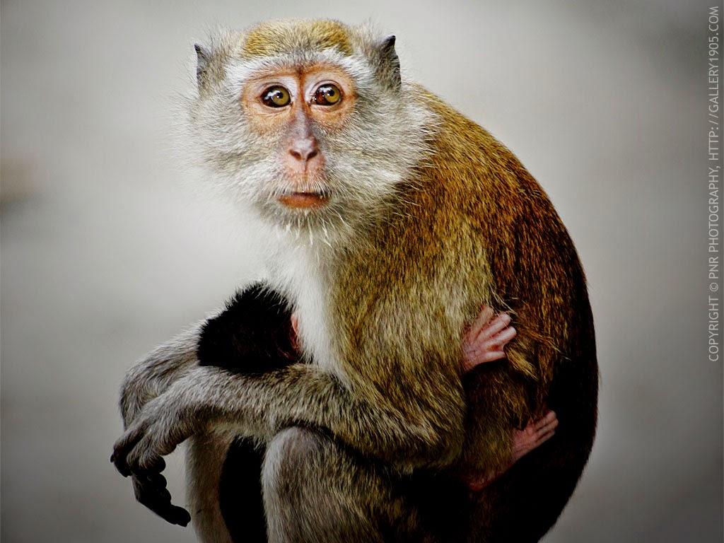 gambar monyet   animasi korea meme lucu emo bergerak