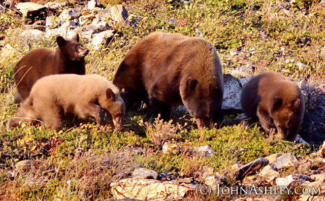 Black bear family feeding on bearberries in Glacier National Park (c) John Ashley