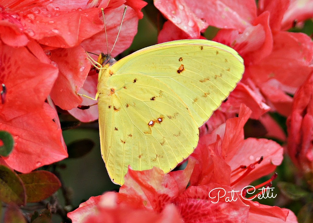 Christmas Butterfly.