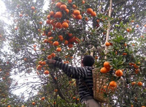 Darjeeling Orange