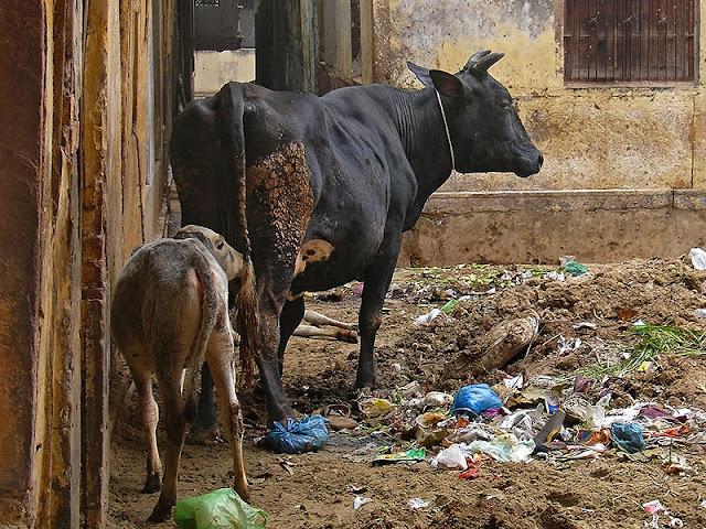 Vaches dans la vieille ville