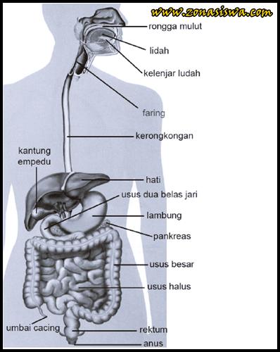 Sistem Pencernaan Manusia | www.zonasiswa.com