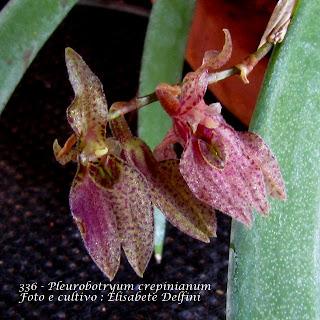 Pleurothallis crepinianum , Acianthera crepinianum