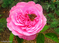 Pink rose with butterfly