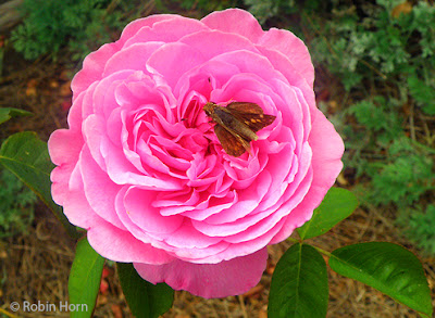 Pink rose with Golden butterfly