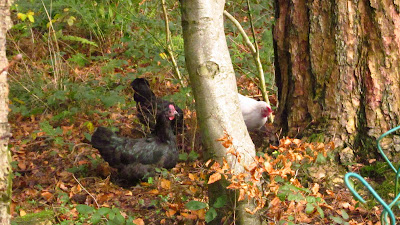 National Trust rare breed hens reunited