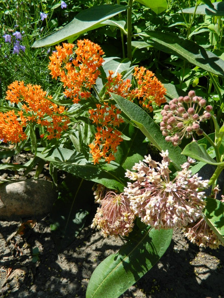 Butterfly weed Asclepias tuberosa Common milkweed Asclepias syriaca by garden muses-not another Toronto gardening blog