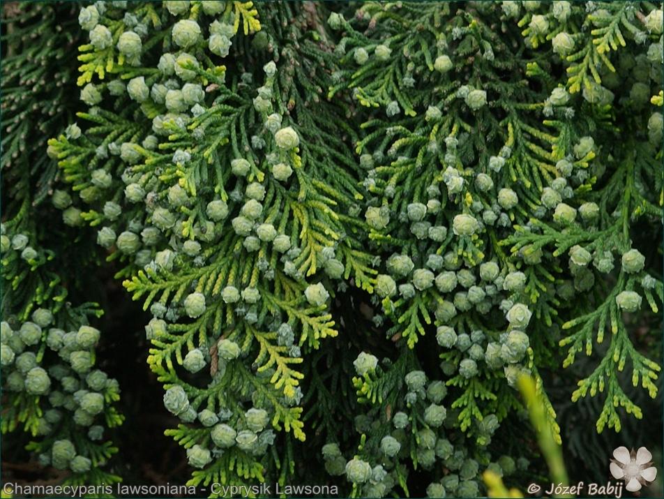 Chamaecyparis lawsoniana fruits - Cyprysik Lawsona owoce