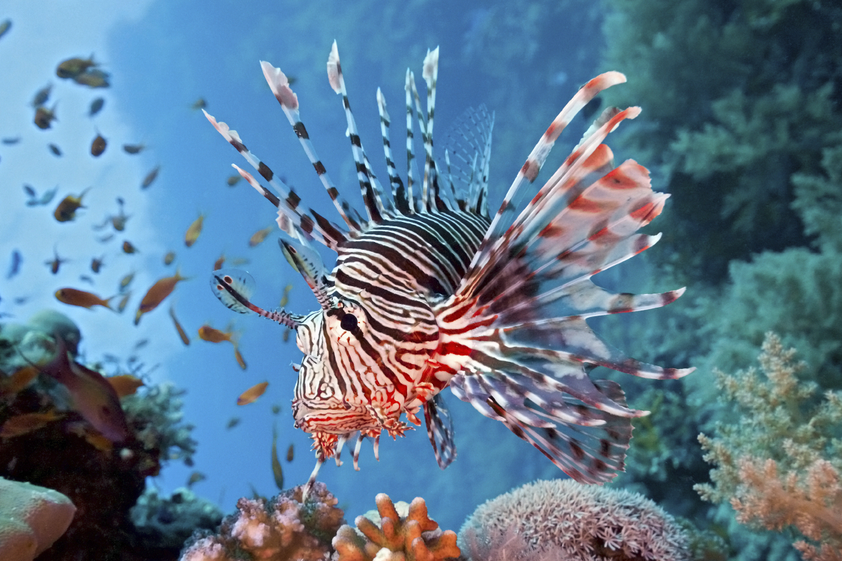 eScienceCommons: Lionfish study explores idea of eating an ...