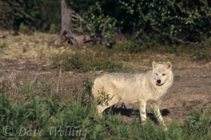 cougar mature northwest territories