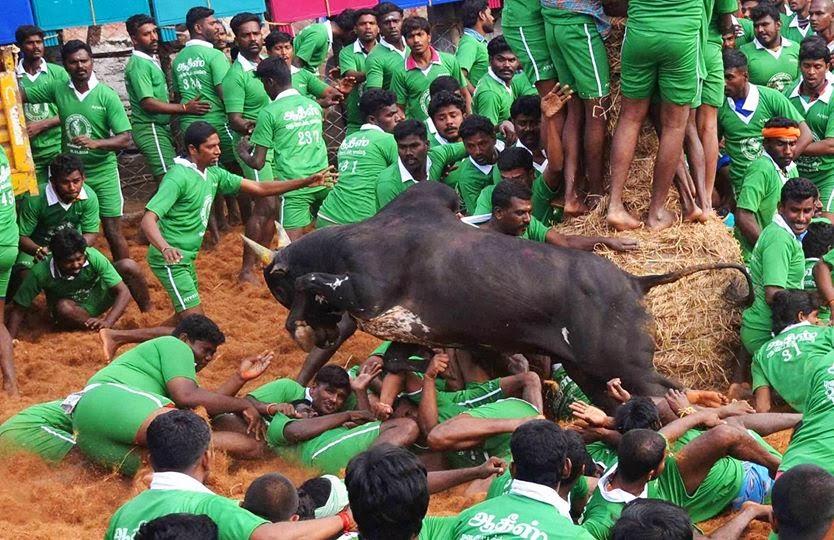 Peserta Cedera Bertanding Jinakkan Lembu Jantan