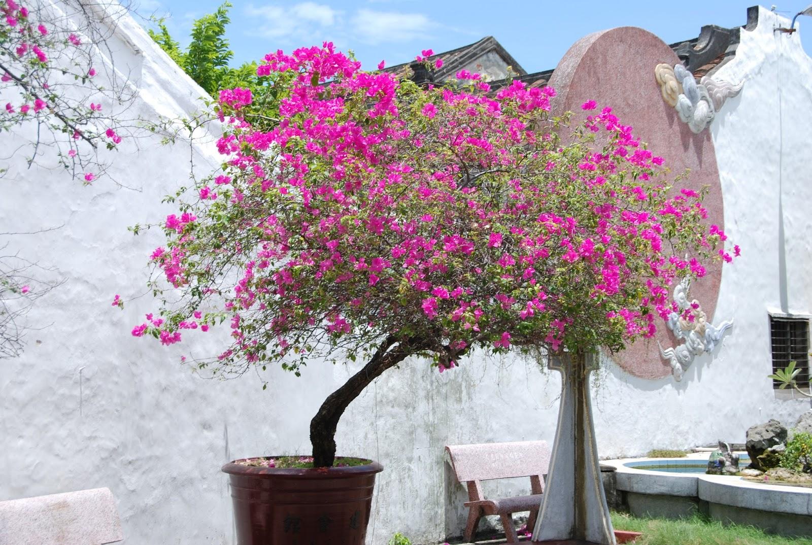 Bonsai de javier neila un bons i de buganvilla - La buganvilla ...
