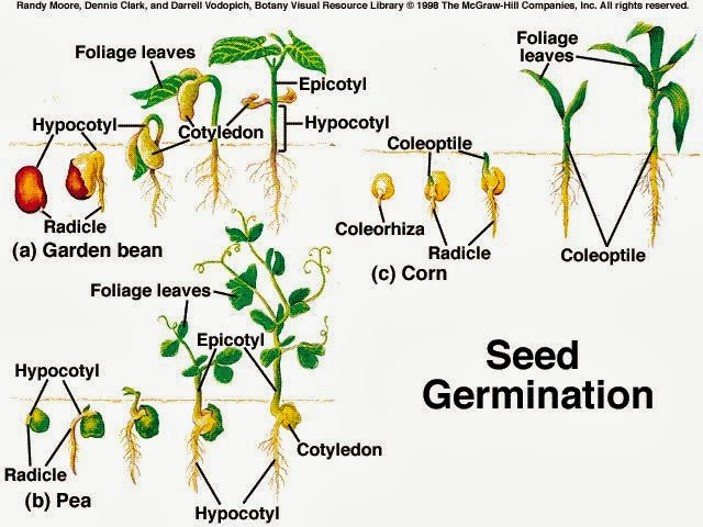 Germination Of Seeds For Kids What Is on The Tiny Seed Worksheets