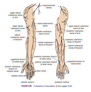 human medecine: dermatomes and cutaneous nerves-superficial veins, Cephalic vein