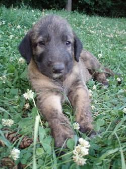 Red irish wolfhound puppies - photo#26