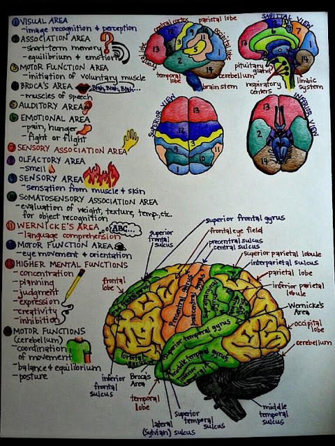 Brain picture with parts and short notes