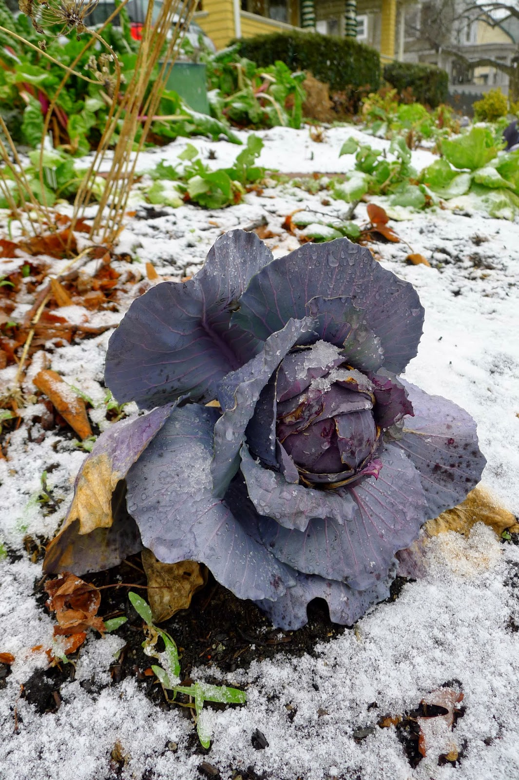 Red Cabbage adds winter interest to the garden