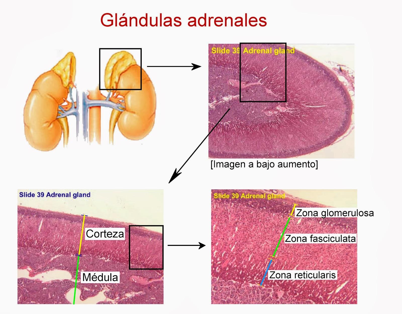 Morfología y partes de las glándulas adrenales (suprarrenales)
