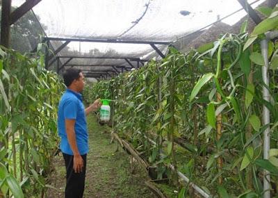 cara pengendalian hama dan penyakit pada tanaman vanili