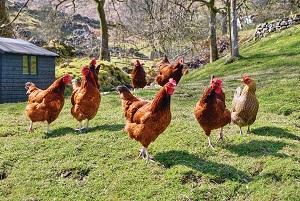 Lolos Dari Kebakaran Berkat Ayam Peliharaan