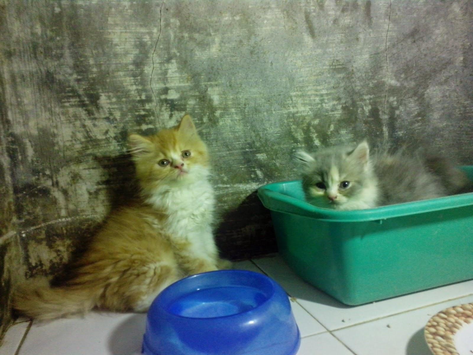 Anakan Kucing Persia Cirebon.