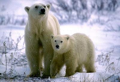 ¿Los Osos Polares son completamente blancos?