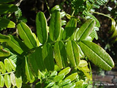 punta kaka Clianthus puniceus
