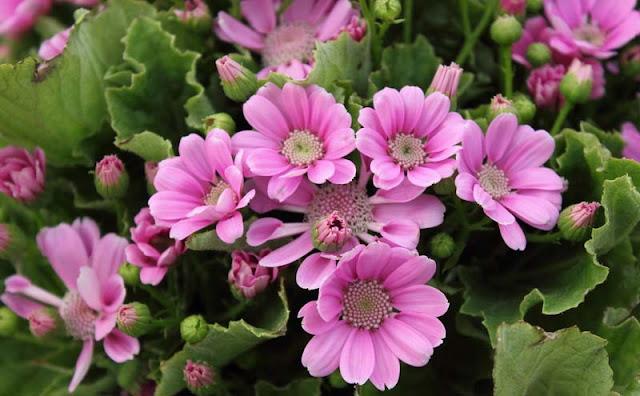 Cineraria Flowers Pictures