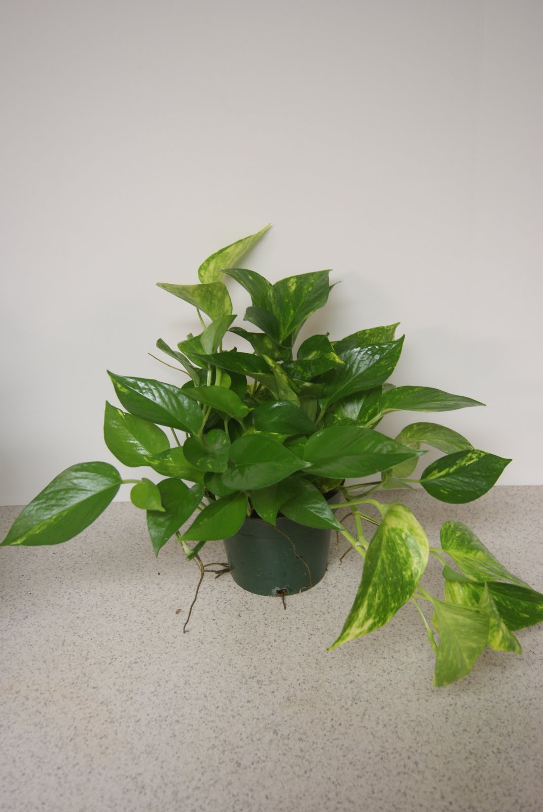 Kirkland Nurseries Llc Golden Pothos