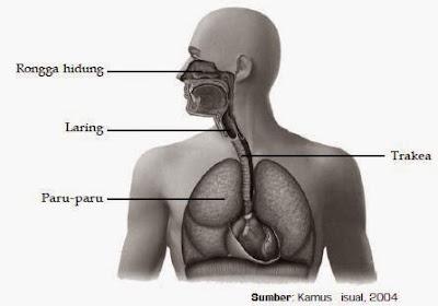 Sistem Organ Pernafasan