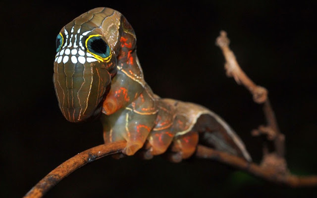Phyllodes imperialis caterpillar