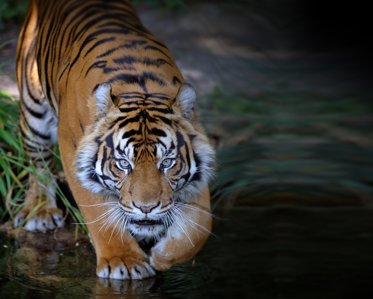 Y Tiger Is Our National Animal New Delhi Animal Planet is