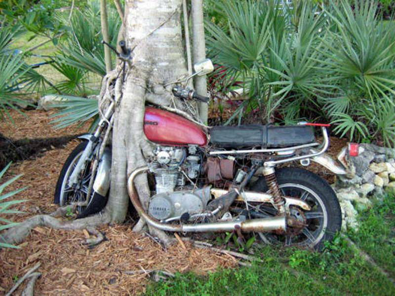 Tree Growing around Motorcycle