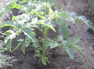 2.07. Безрассадные помидоры всегда вырастают коренастыми и крепенькими