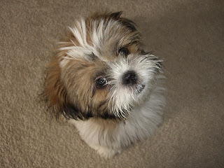 Shih Tzu Puppy PIctures