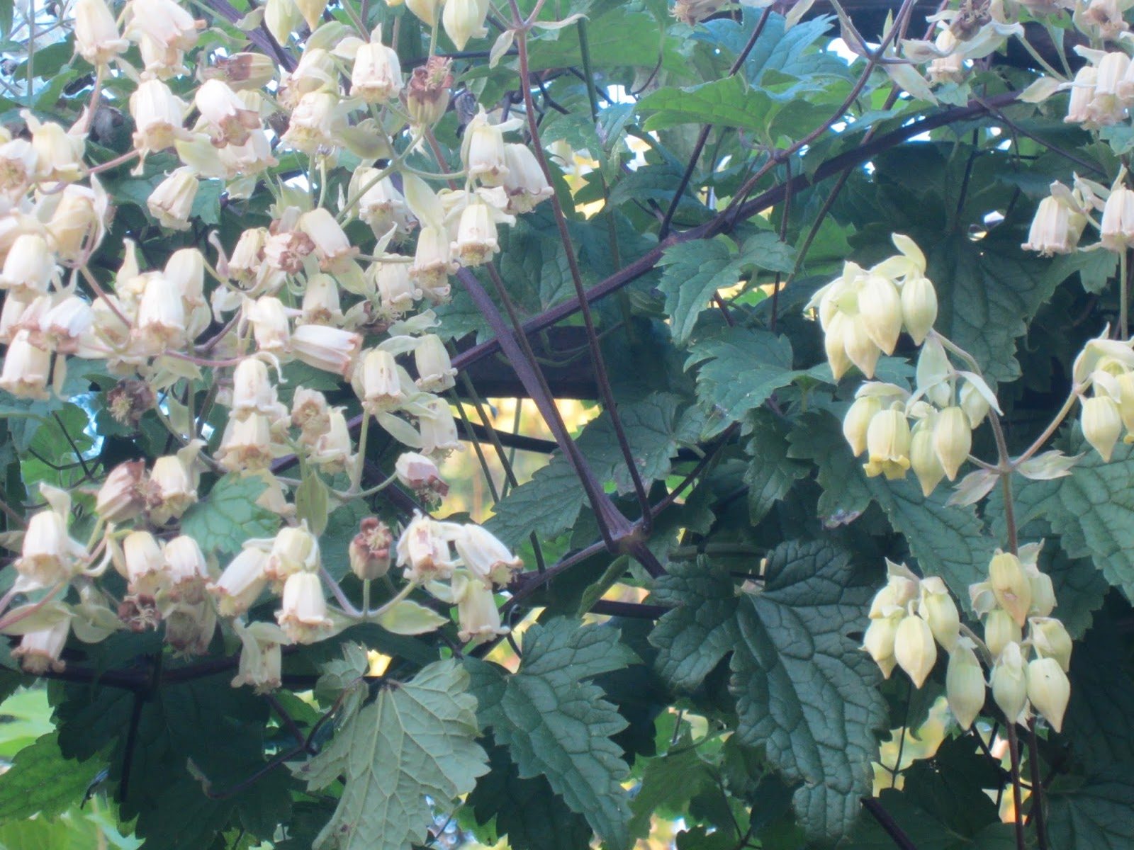 Autumn joy john brookes raves rants an unusual clematis with soft yellowish bell shaped flowers coming from a mass of fern like leaves clematis rehderiana mightylinksfo
