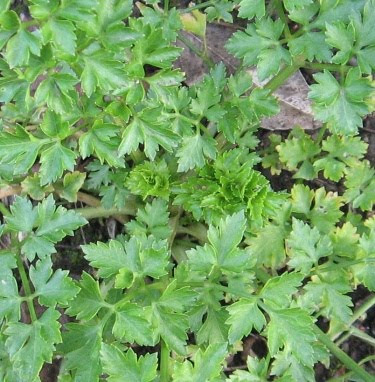 homegrown parsley plant