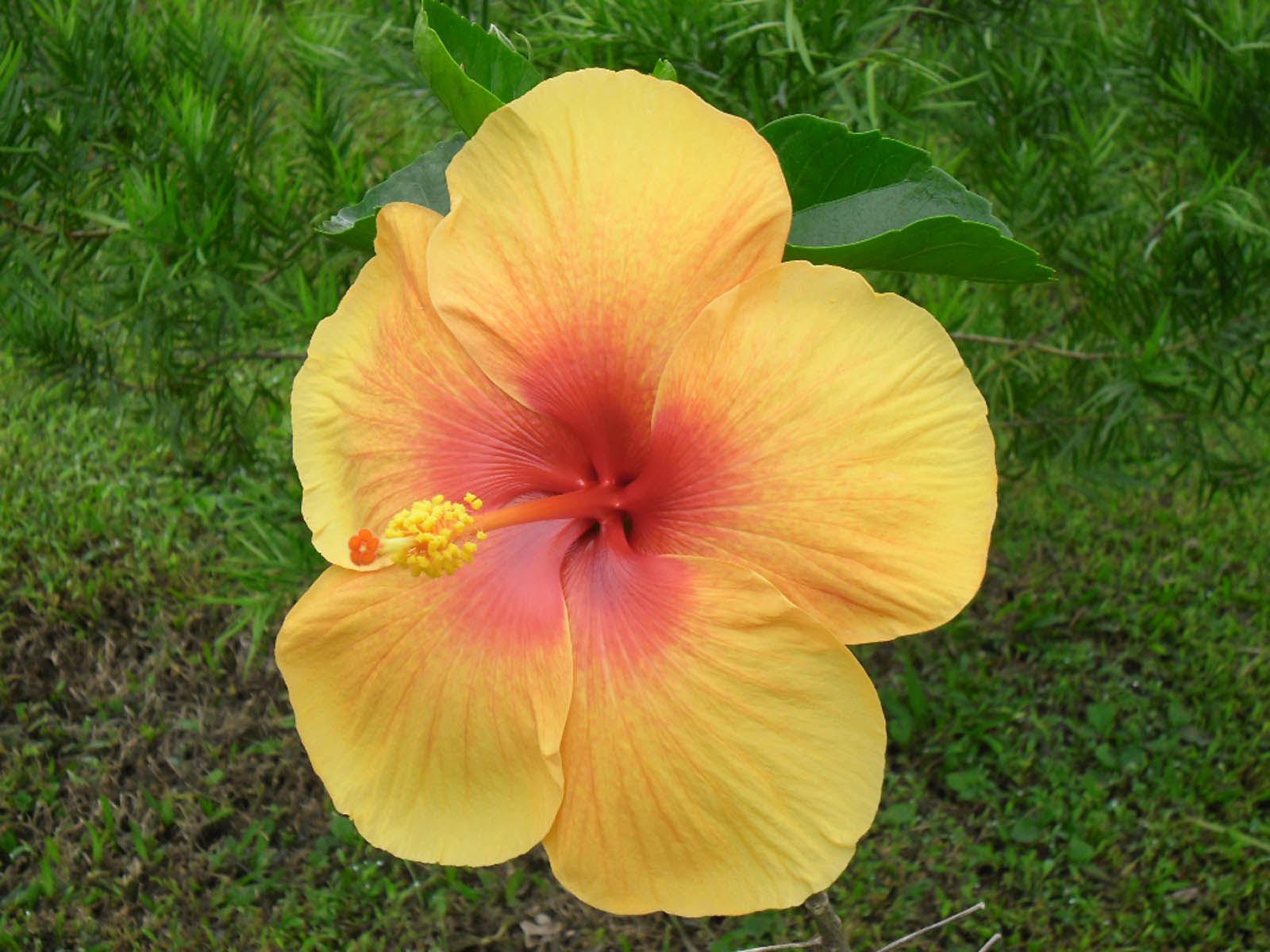 yellow hibiscus plant - photo #32