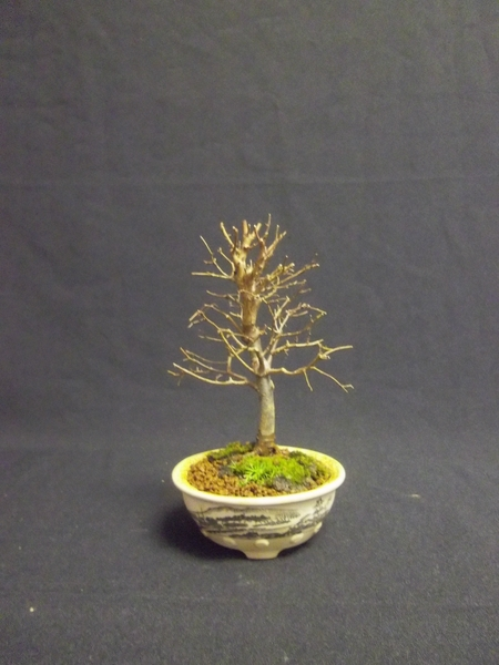bonsai zelkova serrata