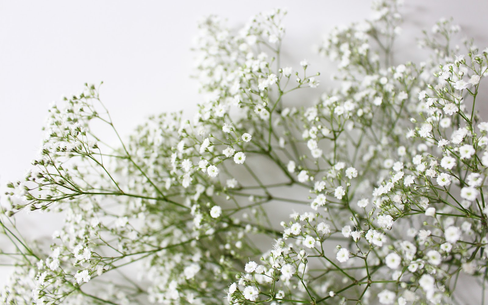 Baby's Breath wallpapers Hd Beautiful Desktop HD Wallpapers Download