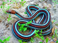 SERPENTE AZUL