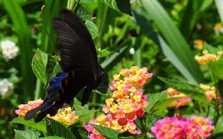 (鳳蝶科 / 鳳蝶屬) 展翅 70 - 85 mm,後翅表面有一枚藍色大斑,外觀近似琉璃紋鳳蝶但 本種前翅亞外緣的綠色帶較不明顯,體型較大,後翅藍色斑紋較發達且大,此為命名的由來,雌雄外觀近似但雄蝶下翅面的藍色斑紋上下呈細條狀延伸。 本屬21種,本種又稱琉璃翠鳳蝶,主要分布在北部平地至低、中海拔山區,幼蟲以芸香科的食茱萸、三腳虌、山刈葉、假三腳虌等植物寄主,但成蟲只出現在北部,分布情況十分特別,中、南部以琉璃紋鳳蝶數量最多,本種 3 - 10 月出現,喜歡訪花吸蜜,飛行快速。