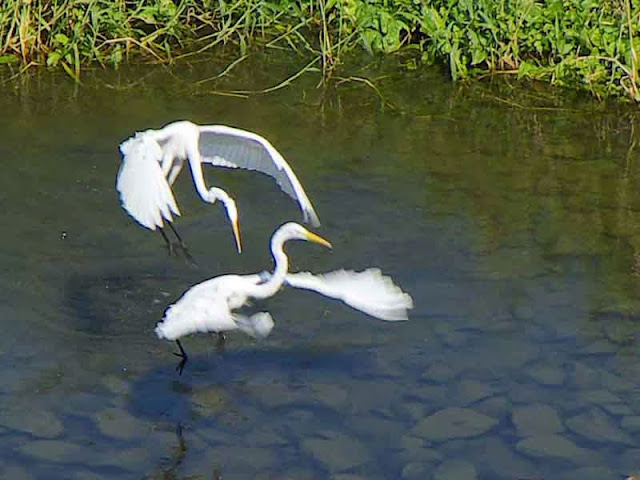 birds, mating ritual,humor,egrets,flight