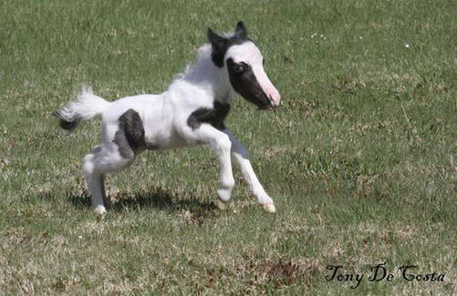 Smallest Mini Horse in the WorldSmallest Horse In The World 2014