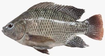 tips memancing ikan air tawar,teknik memancing ikan nila,jenis ikan air tawar,resep umpan mancing ikan air tawar,umpan ikan air tawar terbaik,habitat ikan nila,umpan mancing ikan air tawar,