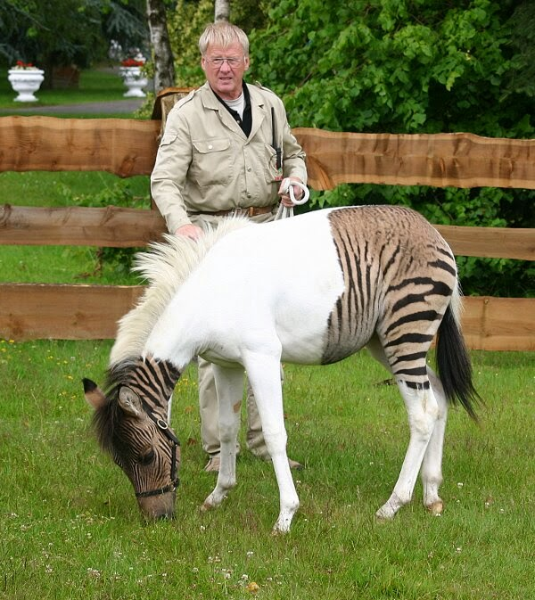 Funny animals of the week - 5 April 2014 (40 pics), zonkey or zebroid picture