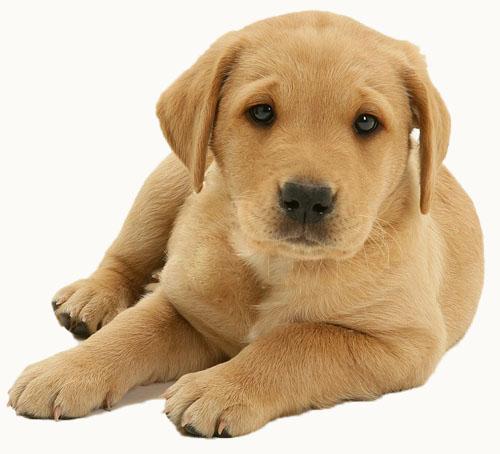 Labrador Cane Da Appartamento ~ duylinh for