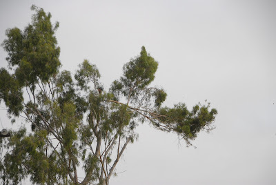 former red tail hawk nest in eucalyptus tree
