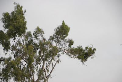 former red tail hawk nest in eucalyptus tree